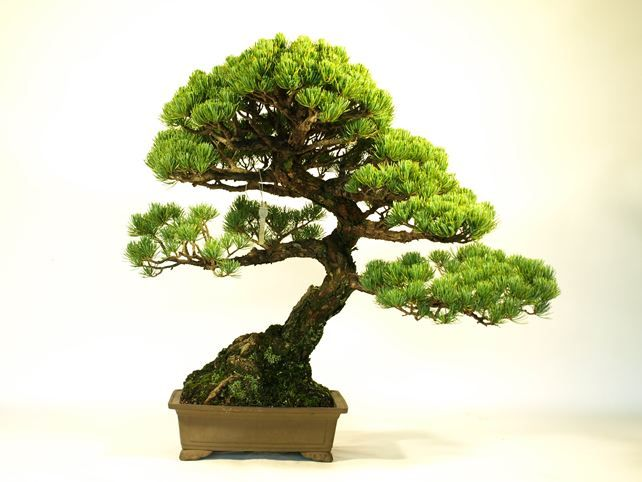 25 best ideas about indoor bonsai tree on pinterest for Small japanese tree