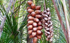Os 13 Benefícios do Óleo do Coco Babaçu Para Saúde