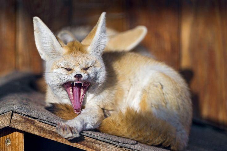 [フリー画像素材] 動物, 哺乳類, 狐 / キツネ, フェネックギツネ, 欠伸 / あくび, 口を開ける (動物) ID:201304241000 - GATAG フリー画像・写真素材集 4.0