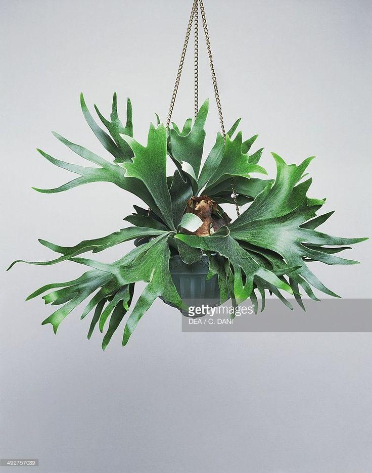 Elkhorn fern or Staghorn fern (Platycerium bifurcatum), Polypodiaceae.