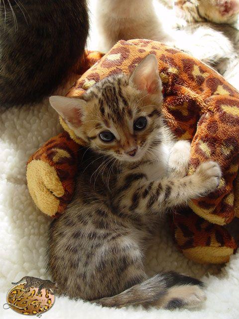 (〃^ー^〃)Bengal kitteh