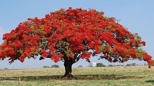 Delonix regia flame tree - flamboyant seeds