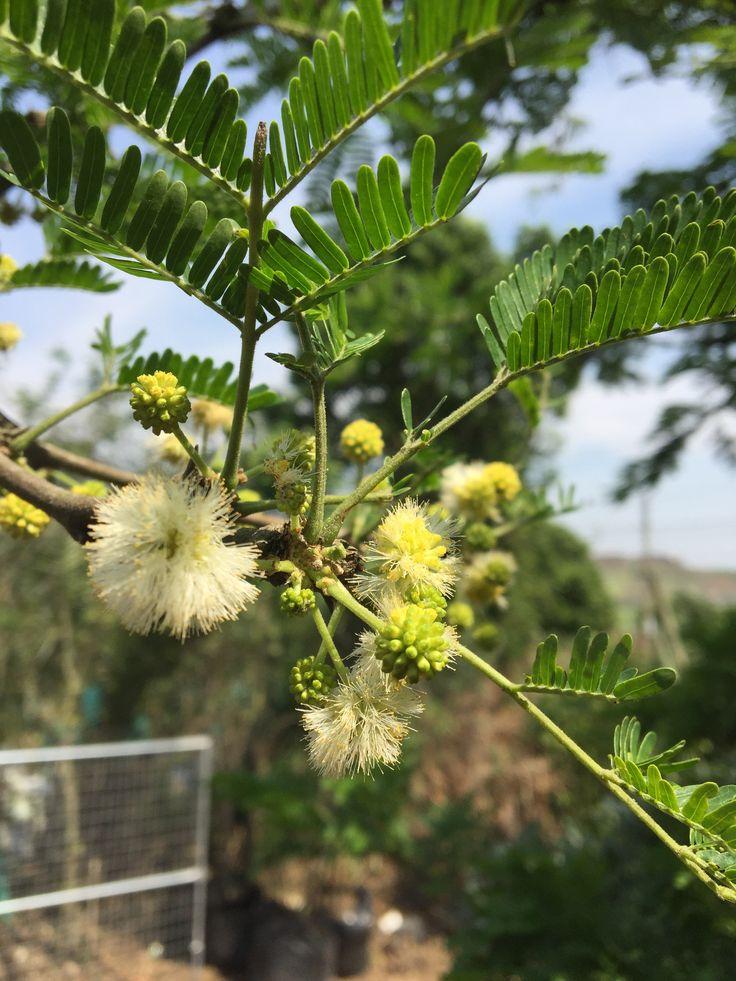 Acacia sieberiana var. woodii (presently Vachellia sieberiana) Paperbark thorn / Acacia