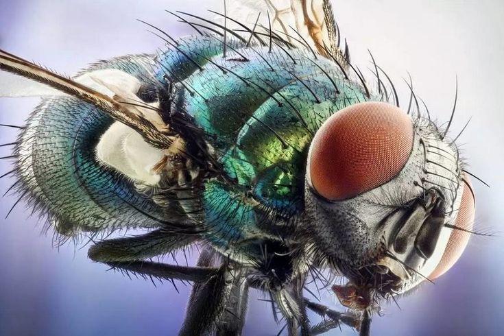 2016 Nikon Macro Photo Contest Winners : 40th Green Bottle Fly