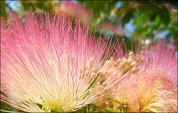 Альбиция ленкоранская — вот как называется это цветущее розовыми пушистыми соцветиями дерево - яркое воспоминание из детства - такое дерево я видела в Керчи.