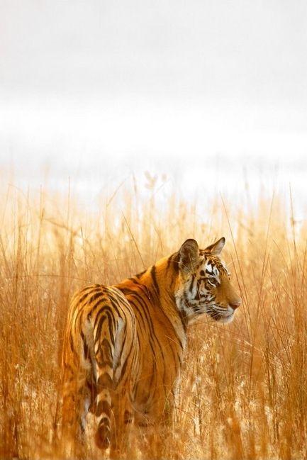 Tiger Dreams   by: Vijay Nagarjan