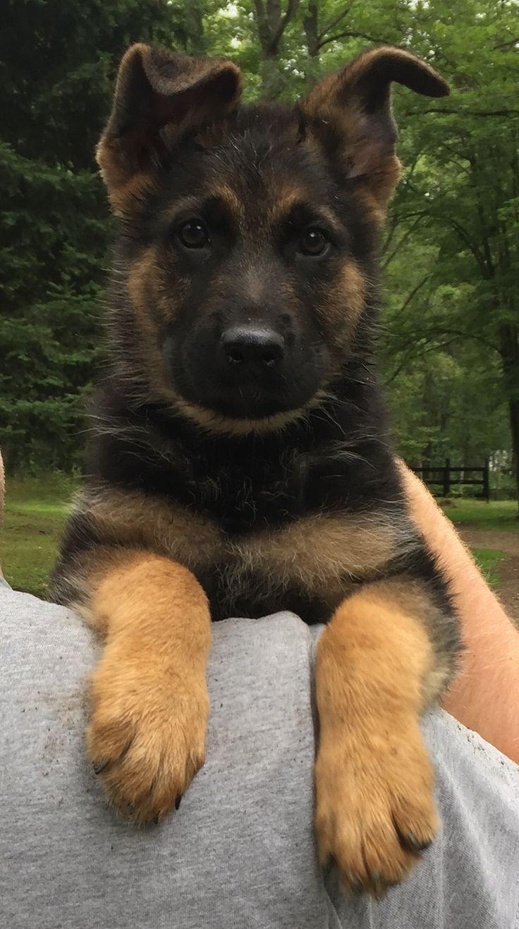 Cute Puppies Dogs In 2020 Female German Shepherd Shepherd