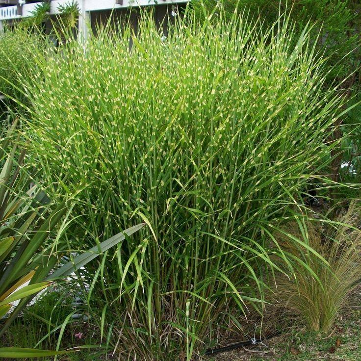 Miscanthus sinensis Strictus este o planta perena cunoscuta sub denumirea populara de Stuf Chinezesc. Aceasta planta face parte din familia Poaceae. Este o planta vesnic verde care formeaza smocuri dese. Tulpinele sunt erecte. Frunzele au o forma liniara ingusta.