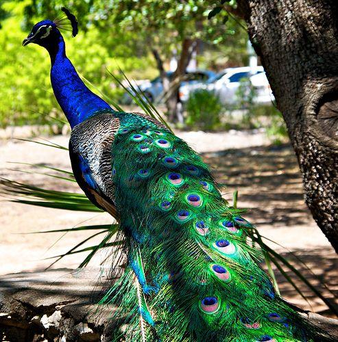 Resident of Mayfield Park, Austin, Texas