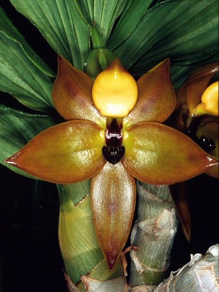 Cycnoches cooperi - Female Flower; Photo courtesy of Eric Hunt