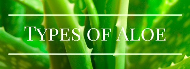 how to grow aloe vera plamt