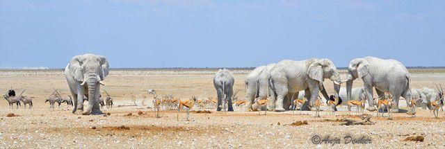 elephants-panorama