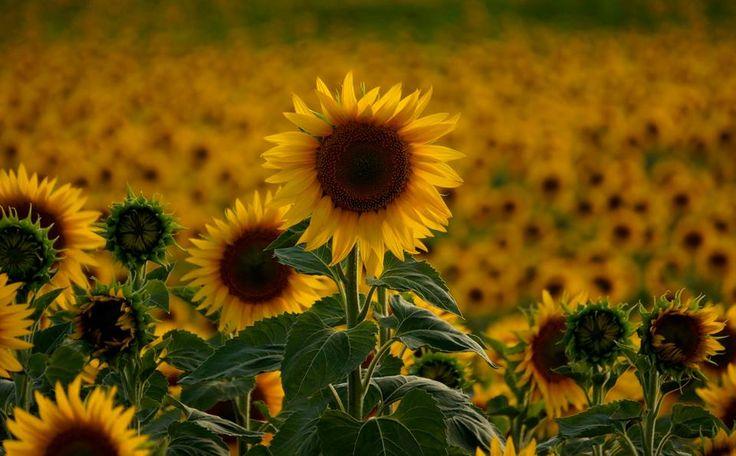 Edirne'de ayçiçek tohumları çiçek açmaya başladı.