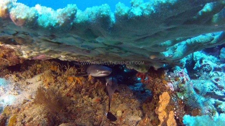 Shark creche  Read more: http://www.traveltherenext.com/adventure/item/486-diving-komodo-national-park  #visitindonesia #komodo #nationalpark #diving #turtles #morays #sharks #experience #adventure #travel #traveltherenext
