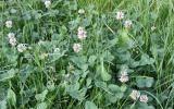 Blühender Weiß-Klee (Trifolium pratense) im Rasen