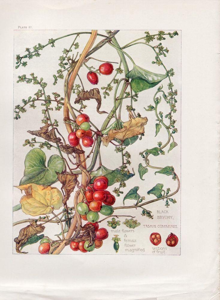 Black Bryony- Wild Flower Botanical Print by Isabel Adams - Antique Print in Art, Prints, Antique (Pre-1900)   eBay