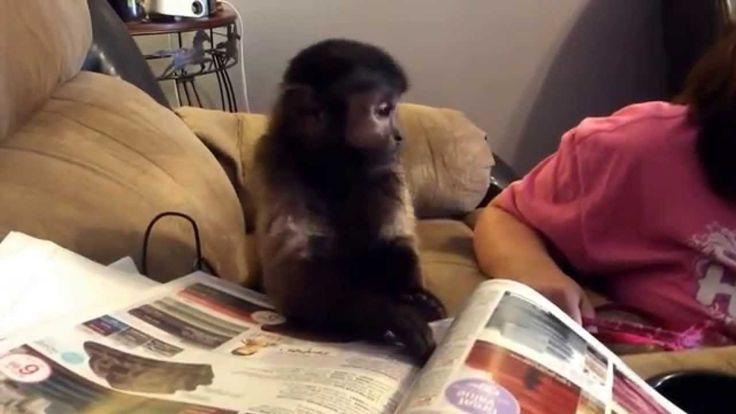 Cassie The Capuchin Monkey Having A Tantrum