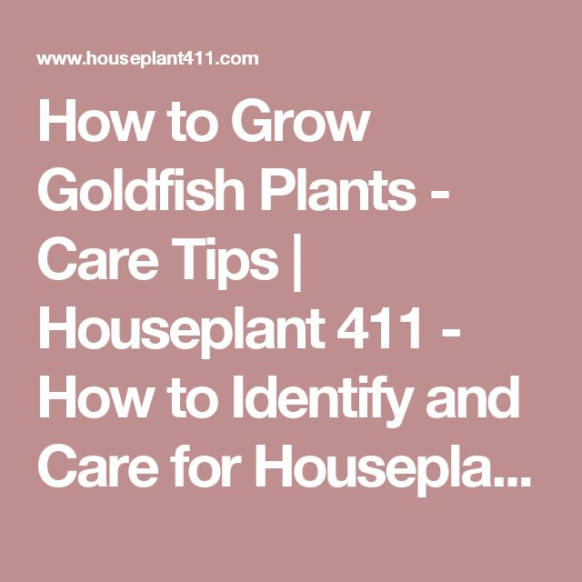 How to Grow Goldfish Plants - Care Tips | Houseplant 411 - How to Identify and Care for Houseplants