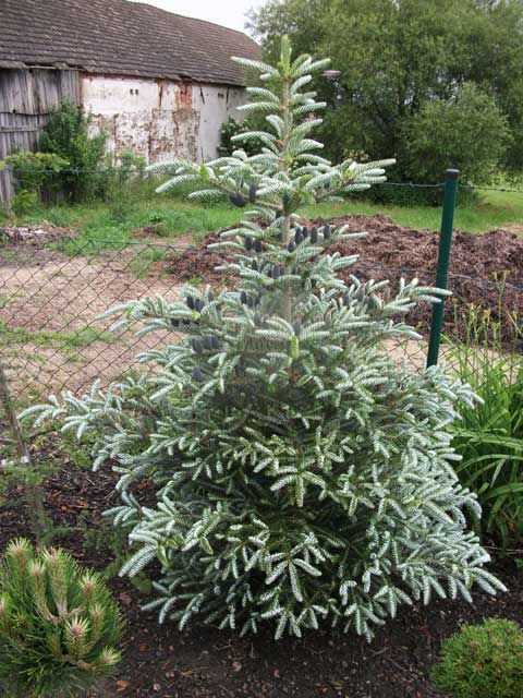 Abies koreana 'Silver Show' Pyramidal conifer similar to Abies. k. 'Silberlocke' but brighter in hue and more dwarf. Prefers full sun in well-drained soil. 5' tall x 3' wide in 10 years.