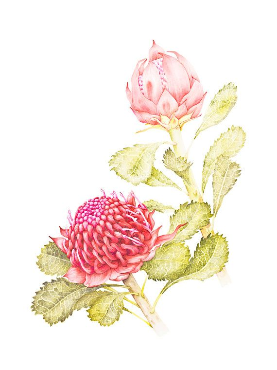 beautiful, feminine, soft, romantic, yet proudly Australian, Waratah Botanic Illustration Fine Art Print 12 x by kateknottart