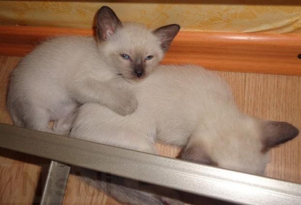 Сиамские котята на продажу - Изображение 1  https://nisidiua.com/poltava/5-zhivotnye/