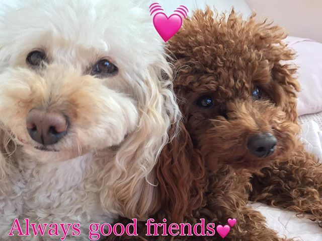 いつでも寄り添ってる二人💕 * いつ見ても、何度見ても癒される私✨✨✨ * 幸せの時間をありがとう💕💕 * * #ありがとう  #毎日  #仲良し  #愛  #愛犬  #love  #感謝  #大好き  #幸せ  #可愛い  #トイプードル大好き #シニア犬 #トイプー#犬 #姉妹 #トイプードル #トイプードル多頭飼い #トイプードル女の子 #トイプードル男の子 #トイプードルレッド #トイプードルアプリコット #トイプードルクリーム #親バカ部 #犬なしでは生きていけません会 #いぬ #いぬすたぐらむ #toypoodle  #dog #dogstagram