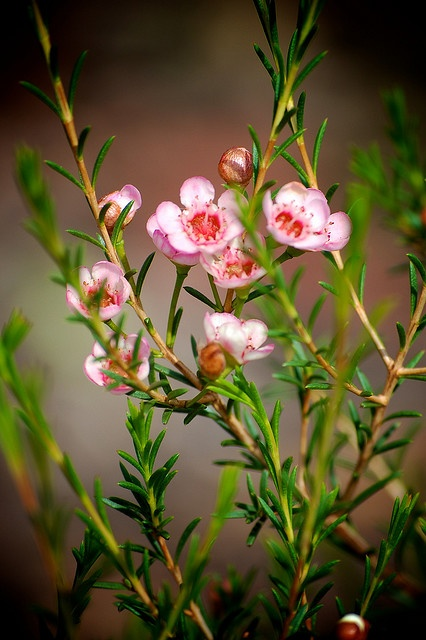 Geraldton Wax flowers, by paletendril on Flickr