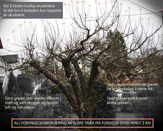 Beskjæring og renovering av eldre frukttrær
