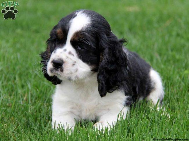 english cocker spaniel puppies black and white Zoe Fans