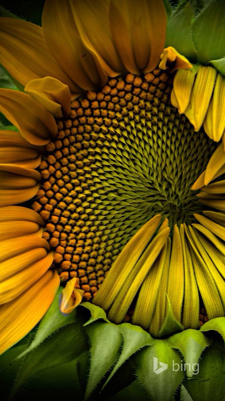 Sunflower  This is the best portrait of a sunflower I've ever seen! Repinned by www.loisjoyhofmann.com