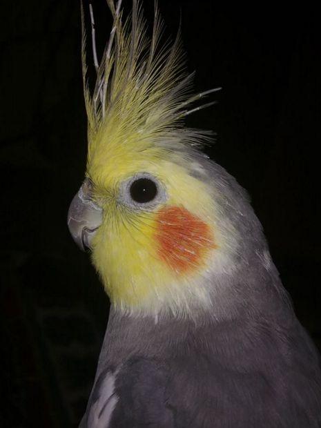 Sultan Papağanı Genel Bilgiler | Hayvan Kolik
