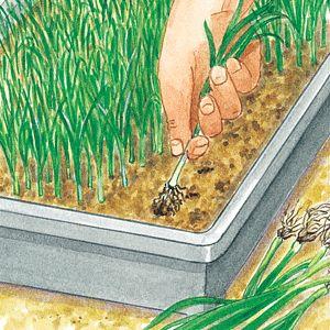 Repiquer le poireau d'hiver - Selectionner les poireaux à repiquer