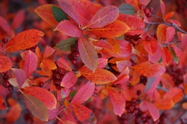 Aronia arbutifolia 'Brilliantissima' (red chokeberry ...