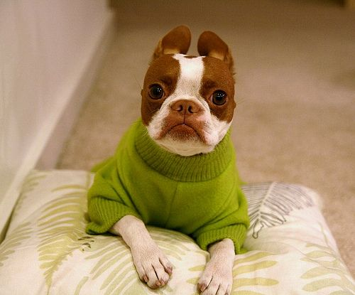 Cute boston terrier in a bright green sweater... i wantttt him!