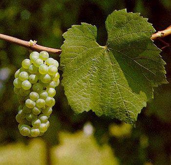 Uva Chardonnay -