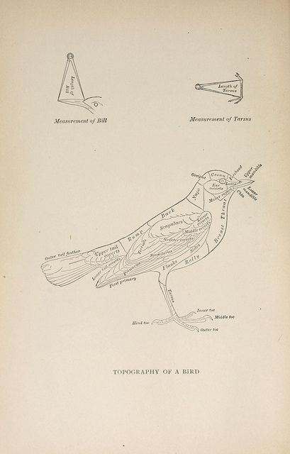 Topography of a bird, n99_w1150 by BioDivLibrary, via Flickr