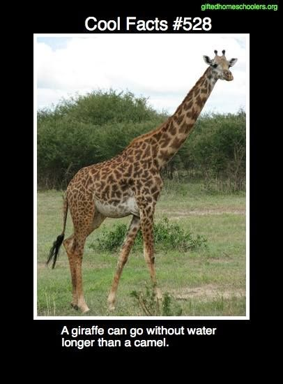 Cool facts #528  http://www.weirdfacts.com/Animal-Facts/giraffe-facts.html