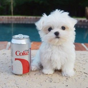 He is a little bit bigger then a Diet Coke can. | Monte The Maltese Is The Cutest Puppy You'll Ever Meet