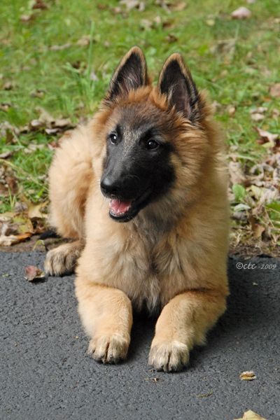 Adorable Tervuren puppy from Chimeric Belgian Tervurens