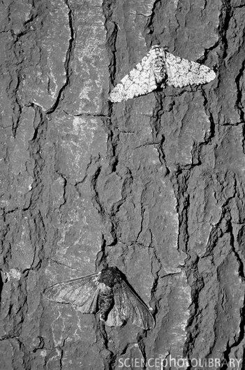 Peppered Moth--perfect example of natural selection.