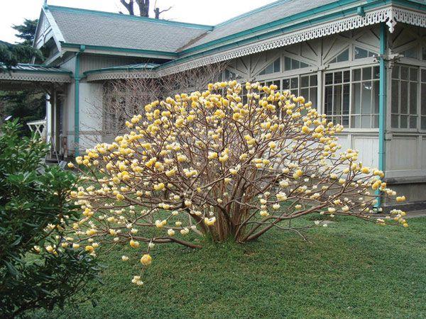 Buy paper bush edgeworthia chrysantha 39 grandiflora for Edgeworthia chrysantha