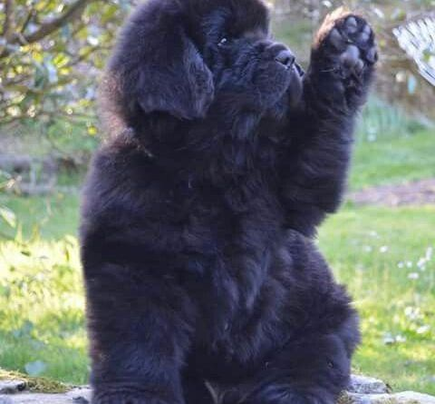 So adorable newfie puppy