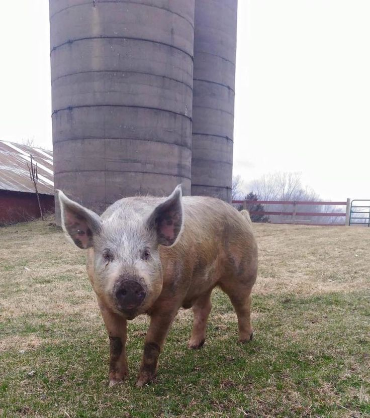 Truck On Highway Is Headed For Slaughterhouse, Then Dashcam Catches Daring Pig's Escape // Little Things