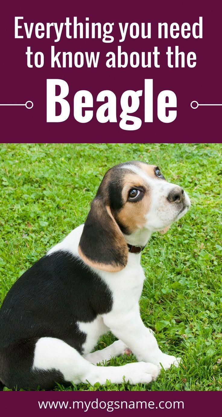 All About The Beagle Pup Grooming Beagleslover