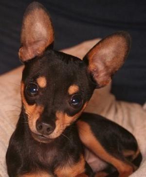 R Chihuahuas Smart 19 best Chihuahuas