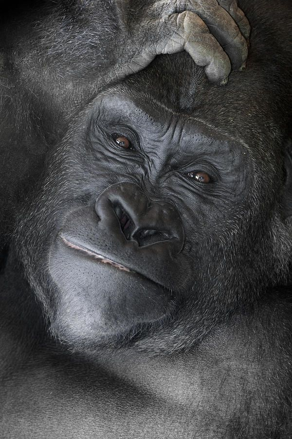 Such a beautiful portrait of Western Lowland Gorilla. I love these animal, must have been a gorilla in my previous birth:)