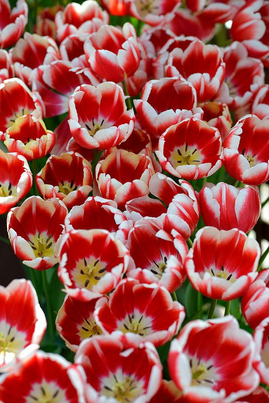 .my mom  and brother glenpaul adored tulips in the spring...this colour makes me gush with happy memories!