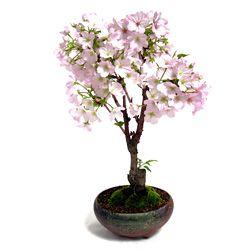 御殿場桜の写真(2) #bonsai