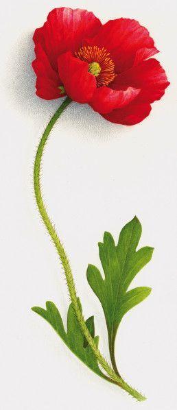 Pavot. Poppy - Vincent JEANNEROT - Aquarelles Botaniques