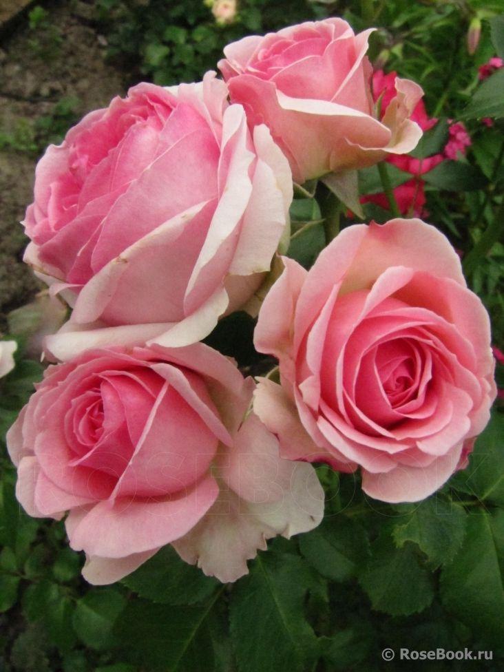 Hermitage' (2004) - syn. 'Joachim du Bellay'. Bossige trosroos met lichtroze dik gevulde bloemen. Zeer gezond. 90cm x 50cm.